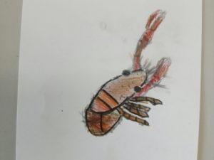 アメリカザリガニの絵
