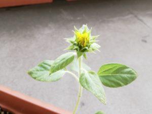 咲きそうなヒマワリ