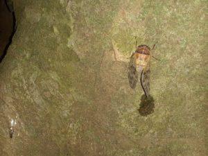 アブラゼミ幼虫 羽化完了 その後