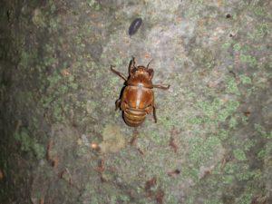 アブラゼミ幼虫 背中に筋