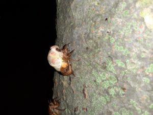 アブラゼミ幼虫 顔が出る