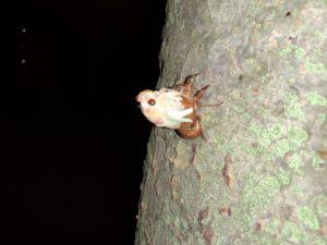 アブラゼミ幼虫 羽化 腕