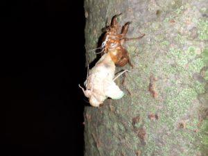 アブラゼミ幼虫 イナバウアー