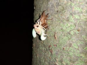 アブラゼミ幼虫 起き上がる