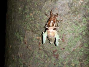 アブラゼミ幼虫 お尻出る