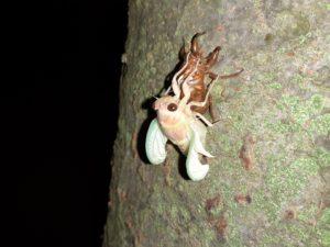 アブラゼミ幼虫 出る