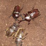 カブトムシ成虫